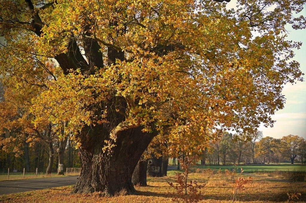 Row of oak trees